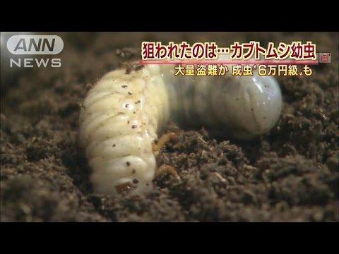 ぐんま昆虫の森でカブトムシ幼虫盗採か?