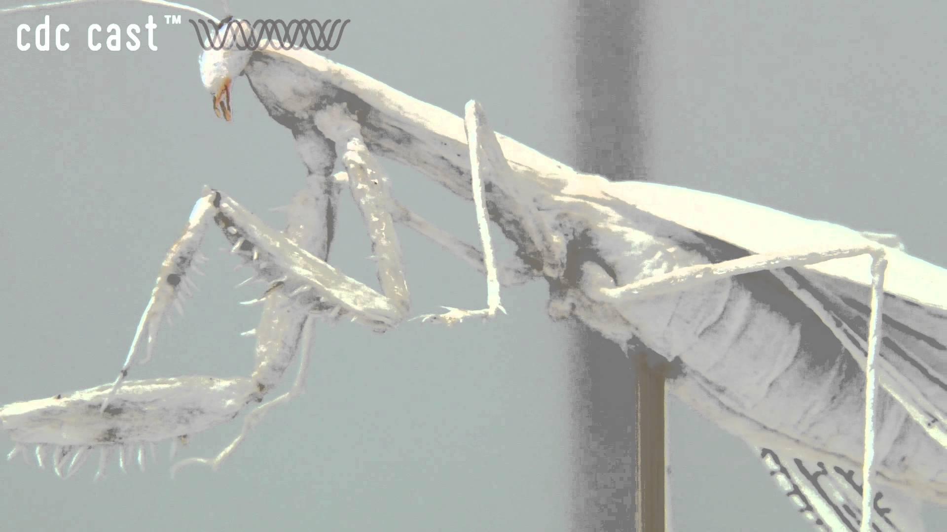 【神業】ティッシュでアゲハチョウの卵から羽化を完全再現!