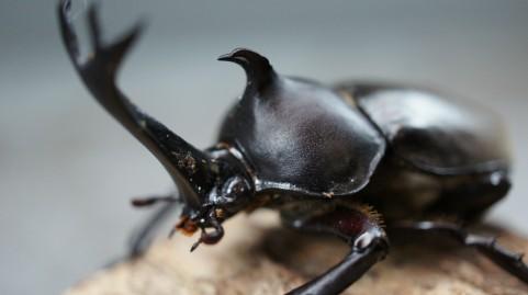 カブトムシ、まんじゅう虫