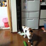 キュウリに驚く猫動画はけしからん!らしいのですが・・・