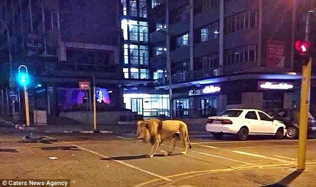 ヨハネスブルク市街地でライオン