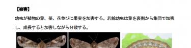 トウモロコシ輸入を批判した連中が急に静かに?ツマジロクサヨトウ愛媛・千葉でも確認、全国14県で発生